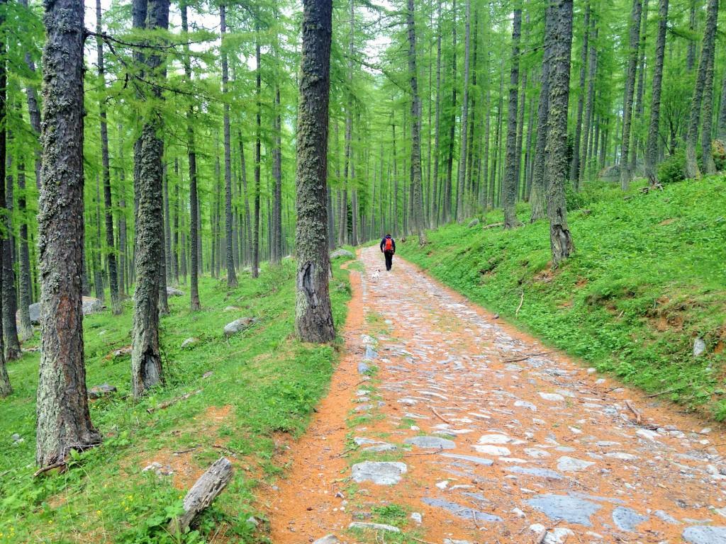 Allée de Mélèzes dans la descente du Vallon de Fontanalbe