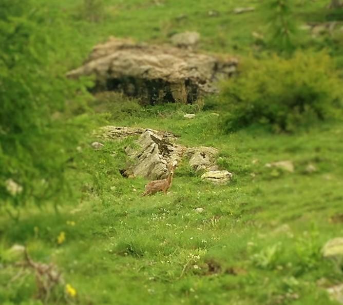 Chevreuil dans le Vallon de Fontanalbe
